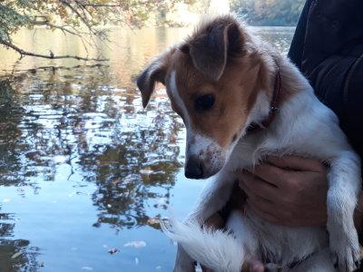 Kromfohrländer Kismet´s Line vom Schloss Judenau als Junghund
