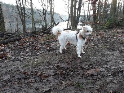 Lotte - Daya von Fietes Hof beim Berliner Kromfohrländer Spaziergang an der Krummen Lanke