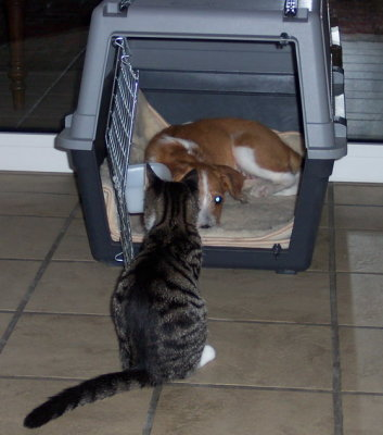 Kromfohrländer und Katzen