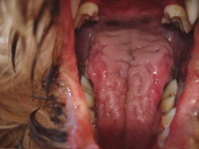 AI beim Kromfohrländer - Entzündungen im Maul