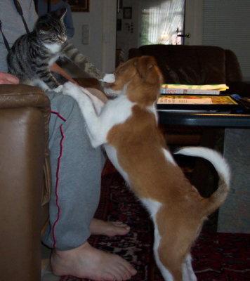Kromfohrländer Amelie als Welpe mit einer ebenso jungen Katze