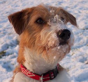 Kromfohrländer Amelie im Schnee