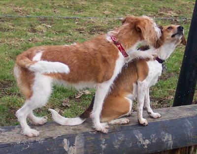Kromfohrländer können auch mit anderen Hunden gut auskommen - müssen es aber nicht