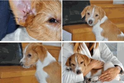 Autoimmunerkrankung beim Kromfohrländer mit Haarverlust um die Augen und Depigmentierungen der Schleimhäute