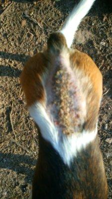 Autoimmunerkrankung Pemphigus auf dem Rücken eines Kromfohrländers