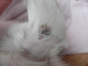 Goldakupunktur Polyarthritis Kromfohrländer