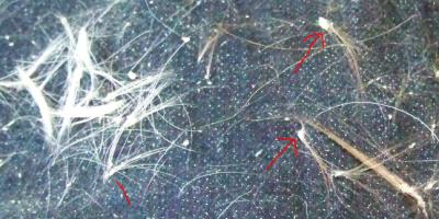 Haarausfall bei einem Kromfohrländer mit Pemphigus