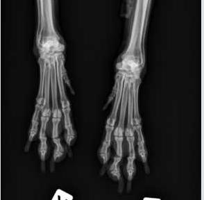 Röntgenbild Kromfohrländer mit Lahmheiten